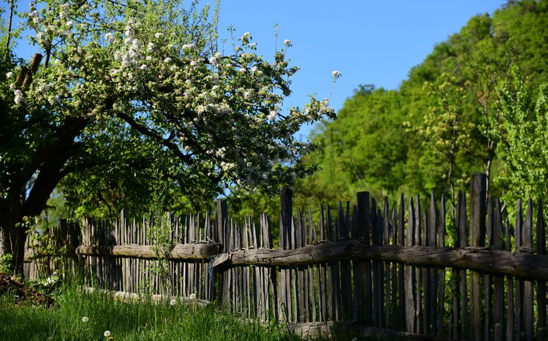 The apple blossom